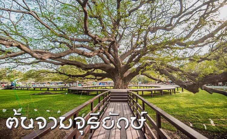 ต้นจามจุรียักษ์ กาญจนบุรี แลนด์มาร์คอายุ 1000 ปี ที่ต้องไปสักครั้ง